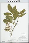 Fraxinus pennsylvanica Marsh. by John E. Ebinger