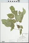 Fraxinus quadrangulata Michx.