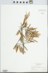 Fraxinus tomentosa Michx. f. by Raymond Athey