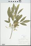 Fraxinus berlandieriana DC.