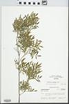 Fraxinus greggii A. Gray by William Steinmetz