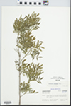 Fraxinus greggii A. Gray