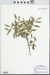 Fraxinus angustifolia Reut. ex Nym.