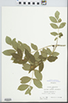 Fraxinus excelsior L. by W. Gerlach