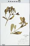 Haenianthus obovatus Krug & Urb. by W. McClain
