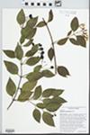 Jasminum dichotomum Vahl by J. Richard Abbott