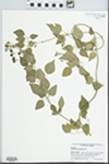 Jasminum fluminense Vell. by J. Richard Abbott