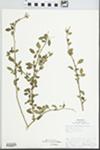 Jasminum humile L. by Carl Ervin