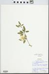 Jasminum primulinum Hemsl. ex Baker by Linda Rhea