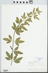 Jasminum nudiflorum Lindl. by Sue Rardin