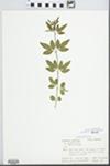 Jasminum nudiflorum Lindl. by R. James Sanok