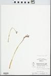 Corallorhiza wisteriana Conrad by Wayne M. Pichon