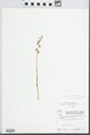 Corallorhiza odontorhiza Nutt. by Wayne M. Pichon and Hampton Parker