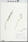 Corallorhiza wisteriana Conrad by W. S. Brenneman