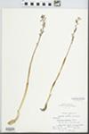 Corallorhiza wisteriana Conrad by L. Kloker