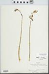 Corallorrhiza wisteriana Conrad by Ernest L. Stover