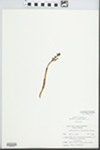 Corallorhiza wisteriana Conrad by Ben L. Dolbeare