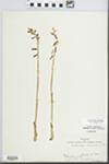 Corallorrhiza wisteriana Conrad