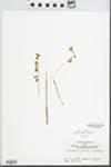 Corallorhiza odontorhiza Nutt. by John E. Ebinger