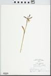 Cleistes divaricata (L.) Ames, 1922 by Hampton Parker