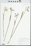 Cleistes divaricata (L.) Ames, 1922 by John E. Ebinger
