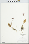 Calypso bulbosa subsp. occidentalis (Holz.) Calder & Roy L. Taylor
