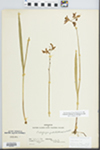 Calopogon pulchellus R. Br. by Edgar Nelson Transeau