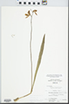 Calopogon pulchellus R. Br. by C. Leland Rodgers
