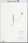 Calopogon pulchellus R. Br.