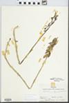 Aplectrum hyemale (Muhl. ex Willd.) Torr. by Hiram Frederick Thut