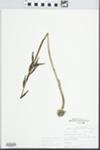 Aplectrum hyemale (Muhl. ex Willd.) Torr.