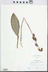 Aplectrum hyemale (Muhl. ex Willd.) Torr. by Randy W. Nyboer