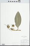Aplectrum hyemale (Muhl. ex Willd.) Torr. by John E. Ebinger