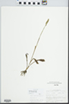 Spiranthes ovalis Lindl. by John E. Ebinger