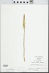 Spiranthes magnicamporum Sheviak