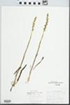 Spiranthes cernua (L.) Rich.