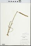 Spiranthes cernua (L.) Rich. by Ben L. Dolbeare