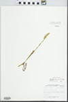 Spiranthes cernua (L.) Rich. by John E. Ebinger