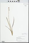 Spiranthes praecox (Walter) S. Watson by Russell H. Waldo