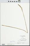 Spiranthes vernalis Engelm. & A. Gray