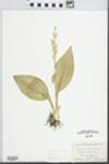 Liparis loeselii (L.) Rich.