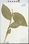 Cypripedium reginae Walter