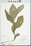 Cypripedium reginae Walter by Randy W. Nyboer