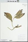 Cypripedium calceolus var. pubescens (Willd.) Correll