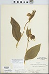 Cypripedium parviflorum var. pubescens (Willd.) Knight
