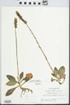 Goodyera pubescens (Willd.) R. Br.