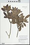 Morella caroliniensis (Mill.) Small