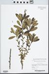 Morella pensylvanica (Mirb.) Kartesz by Kerry Barringer