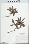 Myrica californica Cham. by Larry Oglesby
