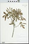 Myrica cerifera L. by Betty Nelson, Roy Nelson, and LeVerne Sumner